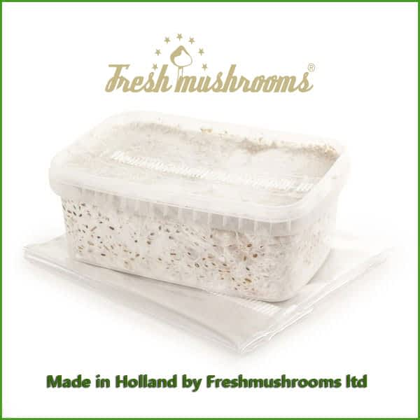 Albino A grow kit freshmushrooms mycelium 1200ml