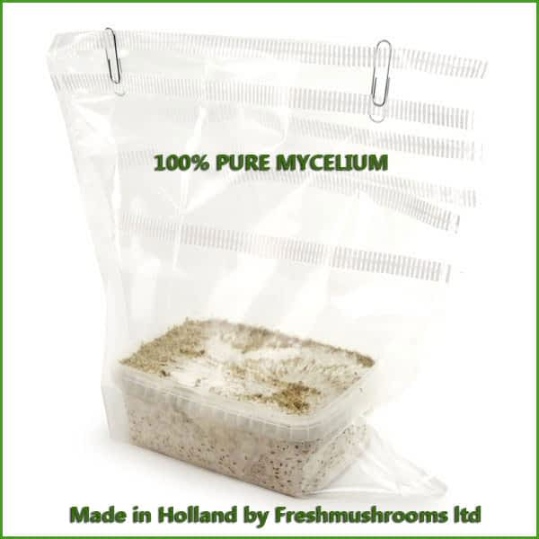 Albino A kweekset 1200ml mycelium freshmushrooms