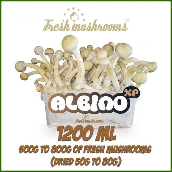 Albino A 1200ml grow kit freshmushrooms